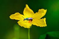 Animais. Insetos. Abelha primitiva em flor do mato. SP. Foto de Silvio Dutra.