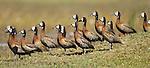 Flock of White-faced Whistling Ducks (Dendrocygna viduata). Okavango Delta, Botswana.