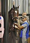 30 January 2009: Capt. Candyman Can gets saddled in his stall before winning the 53rd running of the Grade 2 Hutcheson Stakes for three-year-olds at Gulfstream Park in Hallandale, Florida.