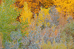 Fall color, Arizona, USA, Canyon de Chelly, aspen, willow, cottonwood