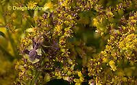 AM01-538z  Ambush Bug camouflaged on goldenrod, Phymata americana
