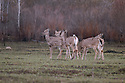 00275-193.10 White-tailed Deer (DIGITAL) group of five are feeding on new growth in burn area during spring.  Rebirth, fire, habitat.  H2E1