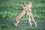 Young Cheetah cubs (Acinonyx jubatus) playing.  Near Ndutu, Ngorongoro Conservation Area / Serengeti National Park, Tanzania.