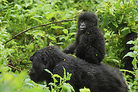 .Mountain Gorilla (Gorilla beringei beringei),female with baby riding on  back, Volcanoes National Park, Rwanda