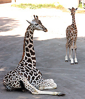 Il cucciolo di giraffa nato lo scorso 28 settembre, con Esperanza, nata nel 2006, al Bioparco di Roma, 9 ottobre 2009..A male baby giraffe born on 28 september, stands on close to Esperanza, left, born on 2006, at Rome's Bioparco, 9 october 2009..UPDATE IMAGES PRESS/Riccardo De Luca