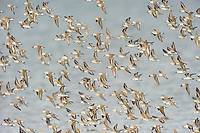 Migratory flock of Western Sandpipers (Calidris mauri) over and estuary. Gray's harbor, Washington. September.