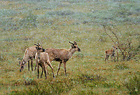 Young caribou in spring snowstorm, June 21, tundra wildflowers, Denali National Park, Alaska