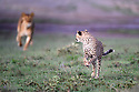 Young Cheetah (Acinonyx jubatus) being chased by a female lion (Panthera leo). Woodland on the edge of the short grass plains of the Serengeti / Ngorongoro Conservation Area (NCA) near Ndutu, Tanzania.