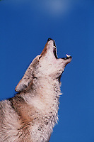 Profile portrait of a howling coyote.