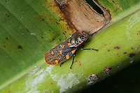 Leaf Hopper, Siquirres Costa Rica.