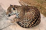 jaguar laying on large boulder looking left