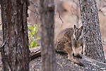 Undara Volcanic National Park, Queensland, Australia; a Mareeba rock-wallaby (Petrogale mareeba) on the rocky hillside in the late afternoon