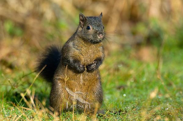 Melanistic Eastern Gray Squirrel (Sciurus carolinensis) commonly found in Vancouver, British Columbia.
