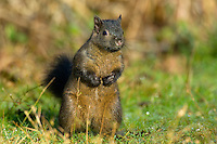 Melanistic Eastern Gray Squirrel (Sciurus carolinensis) commonly found in Vancouver, British Columbia.