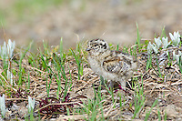 White-tailed Ptarmigan chick (Lagopus leucurus).  Mount Rainier National Park, WA.  Summer.