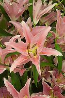 Lilium 'Aktiva' (Oriental)