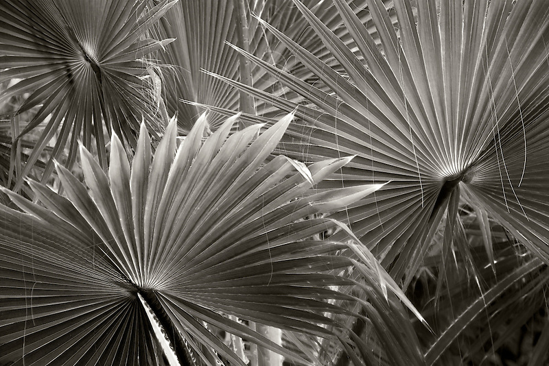 Close up of palm leaves. St. Thomas. US Virgin Islands