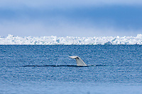 beluga whale, Delphinapterus leucas, swims through an open lead in the pack ice during spring migration, Chukchi Sea, off Barrow, Arctic Alaska