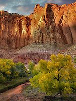 Fall colored Cottonwood Trees and rock formations. Capitol Reef National Park, Utah