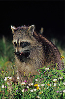 Northern Raccoon, Procyon lotor, adult cleaning paws in wildflowers at night, Willacy County, Rio Grande Valley, Texas, USA