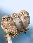 """A trio of sleepy owls have a slow start to the day as they sleep huddled together on a branch.<br /> <br /> The three spotted owlets were huddled together to warm themselves in the morning sunlight at Ranthambore National Park in Rajasthan, India.<br /> <br /> Engineer Ameya Marathe, 28, who has a textiles manufacturing business with wildlife photography as a hobby and passion said """"The are commonly found in India, however getting this particular pose where they all are sitting together in a group and sharing warmth is a rare sight.""""<br /> <br /> """"As we were driving through the forest , our safari guide came across a tree branch on which they were sitting.""""<br /> <br /> """"After a few minutes of taking their photo, one of the owls looked toward me for few seconds giving me an opportunity also capture this image.""""<br />  <br /> Please byline: Ameya Marathe/Solent News<br /> <br /> © Ameya Marathe/Solent News & Photo Agency<br /> UK +44 (0) 2380 458800"""