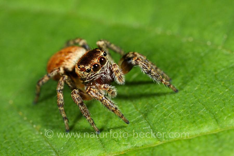 Braune Springspinne, Evarcha falcata, Jumping spider, Springspinnen, Salticidae, Jumping spiders