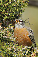 American Robin, Turdus migratorius, female eating juniper tree berries,Yellowstone NP,Wyoming, September 2005