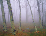 Shenandoah National Park, VA<br /> Lichen covered oaks in open woods with heavy spring fog