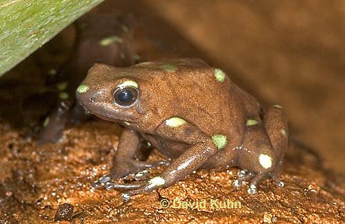 0930-07vv  Dendrobates auratus ñ Ancon Hill Arrow Frog - Ancon Hill Dart Frog  © David Kuhn/Dwight Kuhn Photography