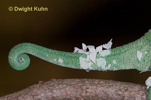 CH37-529z  Female Jackson's Chameleon or Three-horned Chameleon, molting old skin, Chamaeleo jacksonii