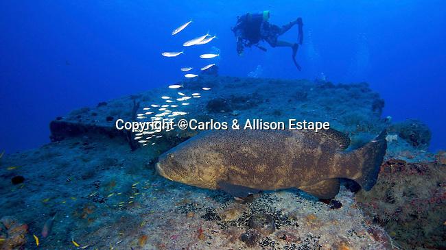 Goliath Grouper and DIver, The Eagle, Islamorada, Florida