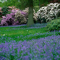 Bluebells and rhododendrons flourish in the woodland garden at Ramster in Chiddingfold, Surrey. The garden was designed by Gauntlett Nurseries in the early 1900s