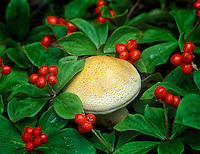 Dwarf Dogwood berries (Cornus candensis) with mushroom. Near Fairbanks, Alaska