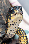 Eastern box turtle, close-up neck and face.