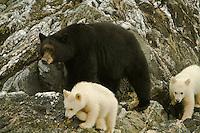 A Black Bear Mom walks along the coastline with her two Spirit Bear Cubs near Port Hartley, British Columbia, Canada, September 2007