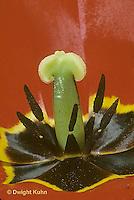 HS08-005b  Flower Reproduction - petals, stamens surrounding pistil - Tulipa spp.