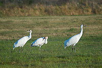 Whooping Crane pair with young.