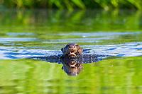 giant otter, or giant river otter, Pteronura brasiliensis, endangered species, swimming, Anangu Creek, Napo Wildlife Center, Yasuni National Park, Ecuador
