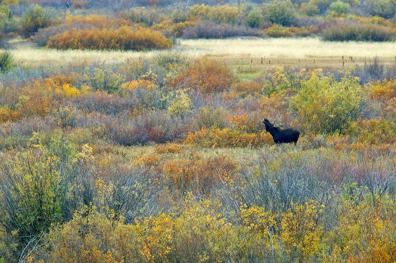 Moose in willow patch calling to cows. Grand Teton National Park, Wyoming