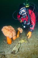 A diver examines an egg case (or mermaids purse) of a Big Skate (Raja Binoculata). Madrona Point, Georgia Strait, Vancouver Island, British Columbia, Canada, north eastern Pacific Ocean