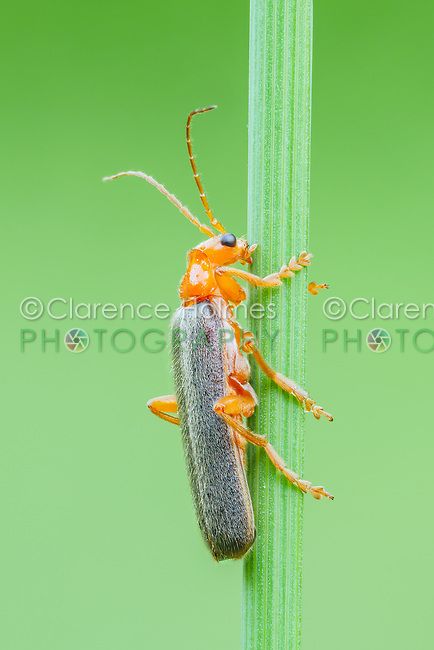 A Soldier Beetle (Pacificanthia rotundicollis) clings to a plant stem.