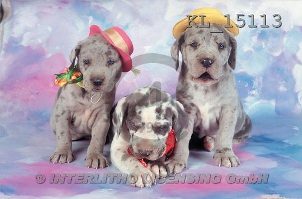 Interlitho, Alberto, ANIMALS, dogs, photos, 3 dalmatian, hat(KL15113,#A#) Hunde, perros