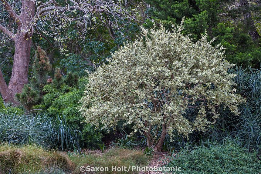Myrtus communis 'Variegata' (Variegated Myrtle) at Leaning Pine Arboretum, California garden