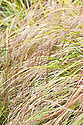 Anemanthele lessoniana, early July. Commonly known as New Zealand wind grass or Bent grass