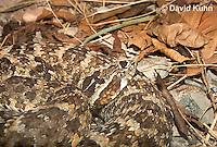 0428-1101  Caatinga Lancehead Pitviper, Brazil Caatinga Region, Bothrops erythromelas  © David Kuhn/Dwight Kuhn Photography