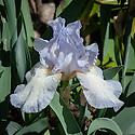 Iris 'Tirra Lirra', mid May. A pale blue dwarf bearded iris.