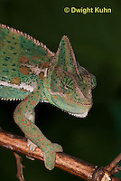 CH51-529z  Female Veiled Chameleon in display color, note eye rotation, Chamaeleo calyptratus
