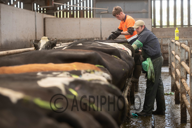 27-5-2021 AI technician inseminating dairy cows <br /> ©Tim Scrivener Photographer 07850 303986<br />      ....Covering Agriculture In The UK....
