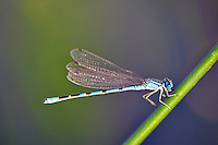 Damselfly. Shore of Mann Lake. Oregon