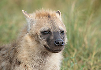 Juvenile Spotted Hyena, Crocuta crocuta, in the Trans Mara area west of Maasi Mara National Reserve, Kenya